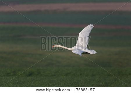 One Mute Swan (cygnus Olor) During Flight With Natural Green Background