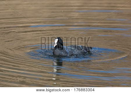 Portrait (side View) Of Black Coot (fulica Atra) Swimming With Circles
