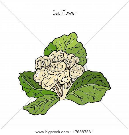 Cauliflower with leaves. Hand drawn botanical vector illustration