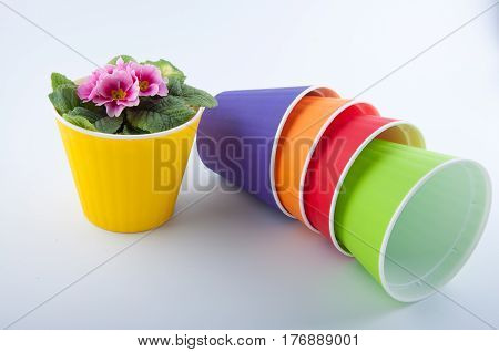Primrose flower with rose petals growing in yellow plastic pot near empty purple orange red green pots on white background
