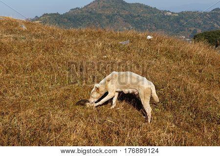 Dog gnawing bone on grass, Himalayas Nepal