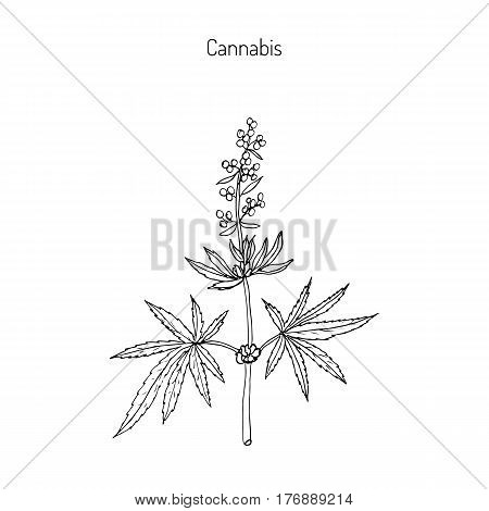 Hemp, Cannabis sativa, Cannabis indica, Cannabis ruderalis, or Chanvre, medicinal plant. Hand drawn botanical vector illustration
