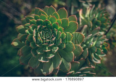 Close Up Of Verode Succulent Plant Of Canary Islands