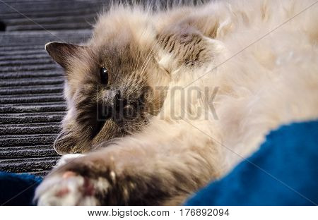 A holy birman cat playing on the couch
