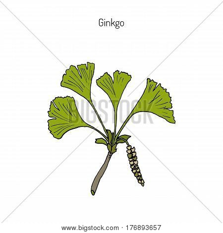 Ginkgo biloba, ginkgo or maidenhair tree. Medicinal plant. Hand drawn botanical vector illustration