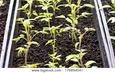 Green Sprout, Small Plant, The Beginning Of The Growth , Sprout From The Soil