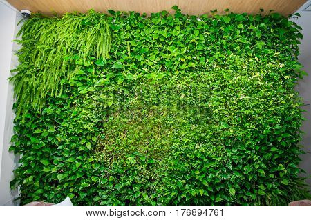 Green Wall Of Different Deciduous Plants In The Interior Decoration. Beautiful Vivid Green Leaf Wall