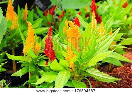 red plumed cockscomb flower or Celosia argentea beautiful in the garden