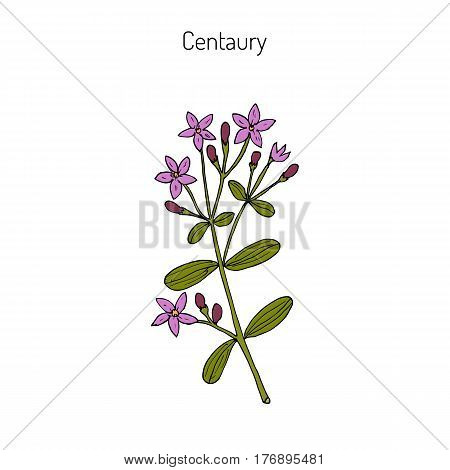 Centaurium erythraea, common centaury or European centaury, medicinal herb. Hand drawn botanical vector illustration