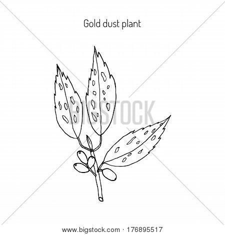 Japanese laurel aucuba japonica , or spotted laurel, Japanese aucuba, gold dust plant. Hand drawn botanical vector illustration