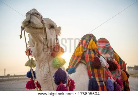 Camel Ride in Iran enjoy the tranquility of the desert at sunset while riding camel to enjoy traditional traveling Iranian style