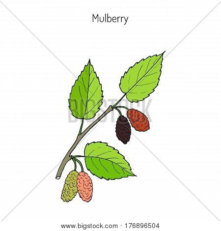 Mulberry morus nigra , or black mulberry, or blackberry. Hand drawn botanical vector illustration