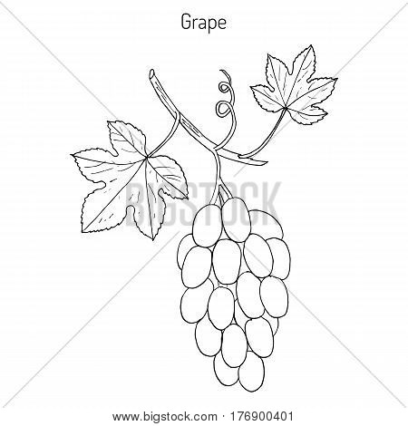 Vitis vinifera, common grape vine. Hand drawn botanical vector illustration