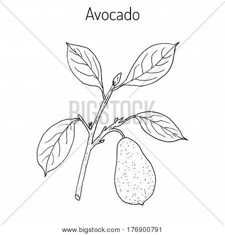 Avocado or alligator pear Persea americana . Hand drawn botanical vector illustration