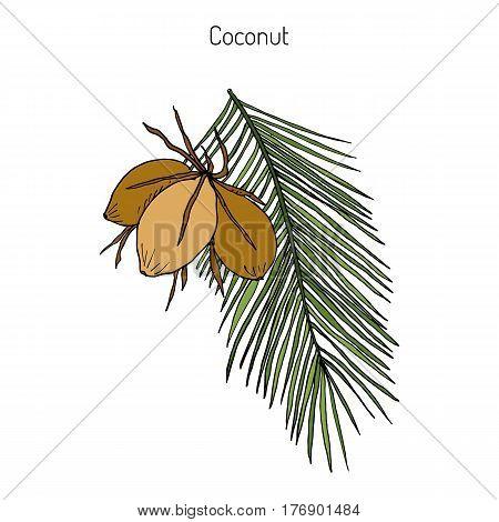 Coconut Cocos nucifera . Hand drawn botanical vector illustration