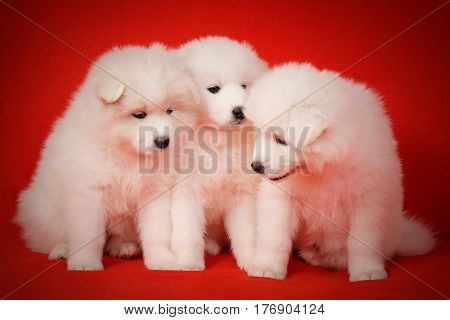 Three Cute White Puppy of Samoyed Dog on Red Fabric Background. White Laika Puppy for your animal designs.