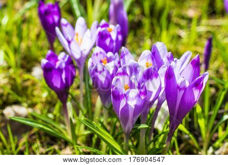 The Field With Crocuses In The Wild