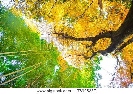 A worm's-eye view of green bamboo forest versus yellow ginkgo tree.