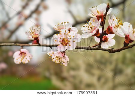 Cherry Flower In Blossom