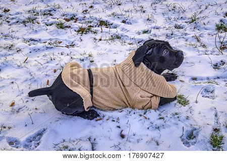Black Puppy In Sweater Lying On Snow