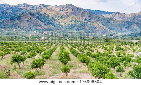 Tangerine Trees In Alcantara Region Of Sicily