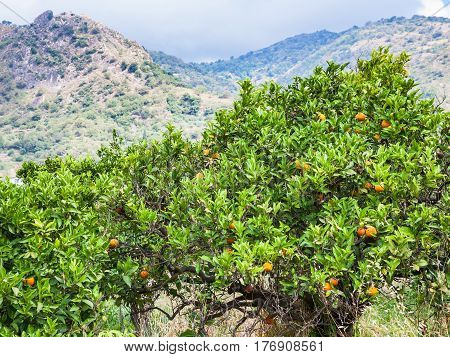 Tangerine Trees With Fruits In Garden