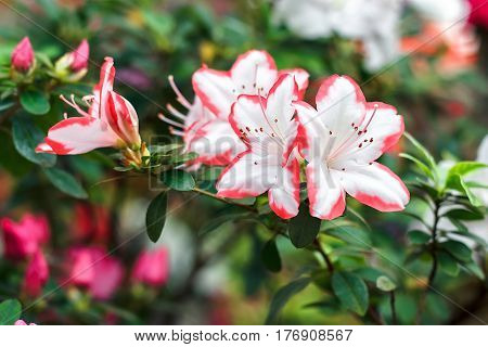 Beautiful pink rhododendron tree blossoms in springtime. Azalea in greenhouse. Closeup Pink Desert Rose flower soft focus. Concept image for interior design. Urban gardening.