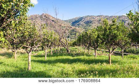 Citrus Garden In Sicily In Summe