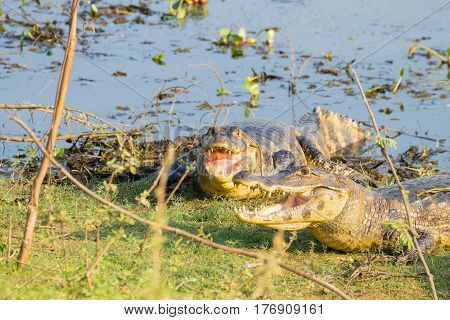 Caiman Which Heats Up In The Morning Sun.
