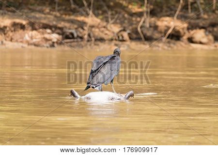 Black Vulture Floating Over A Dead Cayman On  River From Pantanal