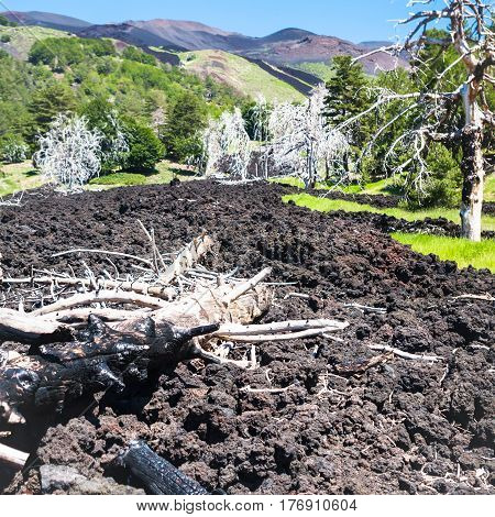 Many Burned Trees In Hardened Lava Flow On Etna