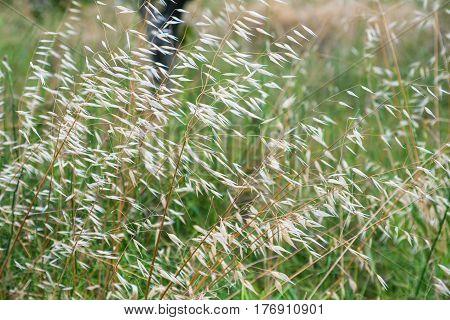 Avena Fatua (common Wild Oat) On Meadow