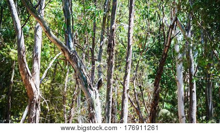Eucalyptus Woods In Sicily