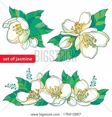 Vector set with outline white Jasmine bunch, bud and green leaves isolated on white background. Ornate floral elements for spring design with Jasmine flower in contour style.