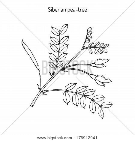 Siberian peashrub caragana arborescens or Siberian pea-tree, or caragana. Hand drawn botanical vector illustration