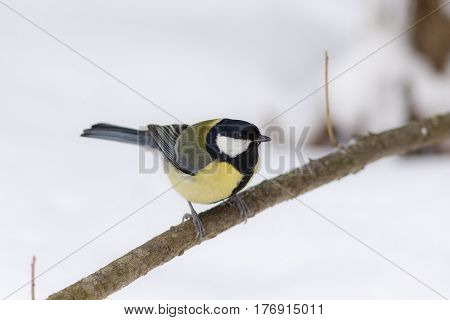 Portrait of a tit on a branch in winter