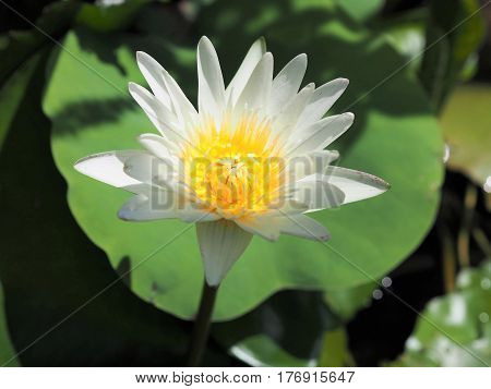 Close Up Of White Water Lily Lotus Blossom On Lotus Leaf Background