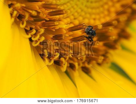 Close Up Of Bee Collecting Nectar On Sunflower