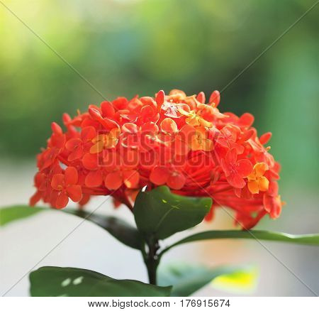 Close Up Of Isolated Red Ixora Coccinea Flower Blossom In The Garden