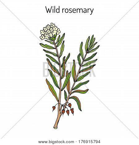 Wild Rosemary Rhododendron tomentosum , or Marsh Labrador tea, northern Labrador tea. Hand drawn vector illustration