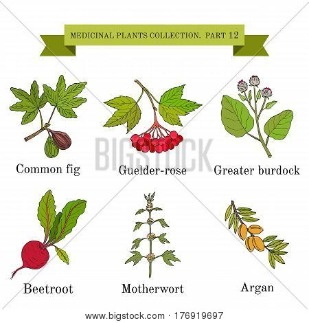 Vintage collection of hand drawn medical herbs and plants, common fig, guelder-rose, greater burdock, beetroot, motherwort, argan. Botanical vector illustration