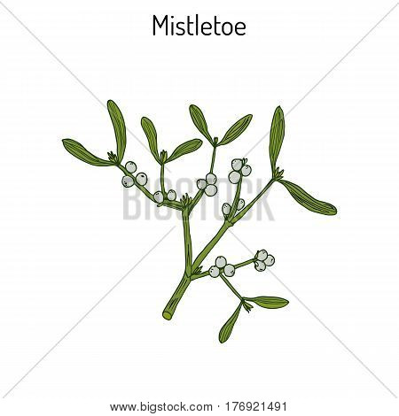 White mistletoe Viscum album or European mistletoe or common mistletoe. Hand drawn botanical vector illustration