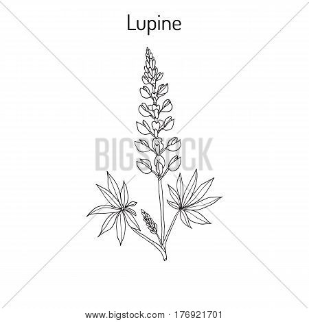 Lupine Lupinus perennis , or wild lupine, sundial lupine, blue lupine, Indian beet, or old maid s bonnets, medicinal plant in the Fabaceae family. Hand drawn botanical vector illustration