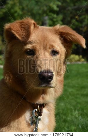 Amazing face of a Yarmouth toller dog sitting in the sun on a summer day.