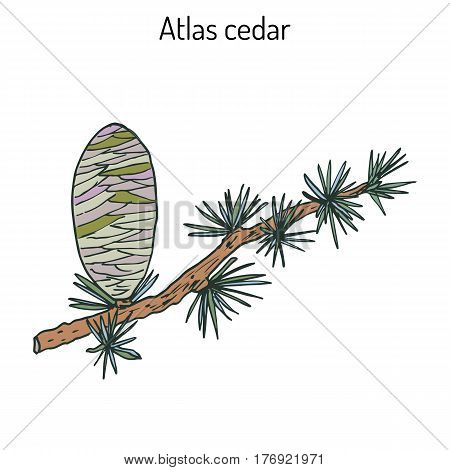 Branch of a Atlas Cedar Cedrus atlantica . Hand drawn botanical vector illustration