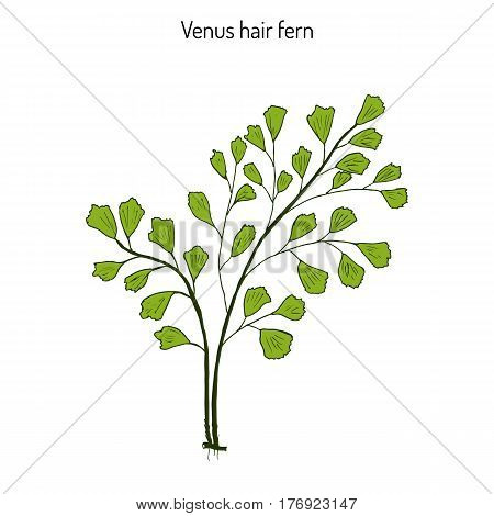 Southern maidenhair fern Adiantum capillus-veneris , or maidenhair fern, venus hair fern. Hand drawn botanical vector illusrtation