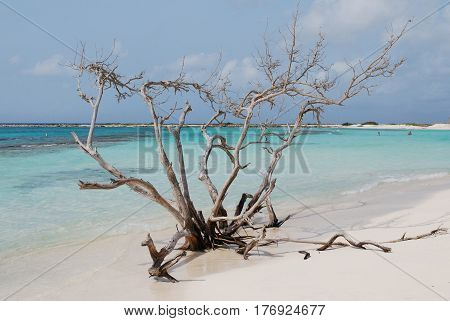 Driftwood tree on the shore of Baby Beach in Aruba.