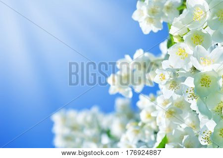 Summer background with jasmine flowers against the blue sky background