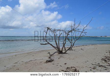 Dead driftwood tree on Baby Beach in Aruba.
