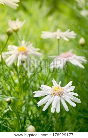 beautiful white daisy flowers with green leaves field in garden bright day light. beautiful natural blooming coneflower in spring summer.